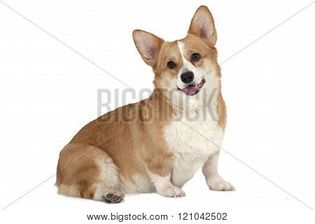 Welsh Corgi Pembroke Isolated On White