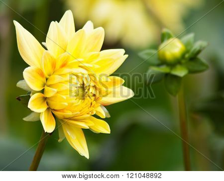 Yellow Dahlia In The Garden