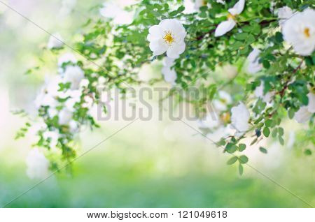 Blurred Background With  Branch Of Blossoming Roses