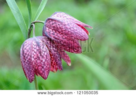 Fritillaria meleagris (Snake's Head Fritillary, Checkered Daffodil, Chess Flower) flower