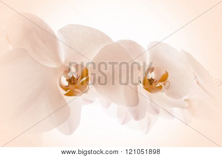 Pink Orchids On Light Background.