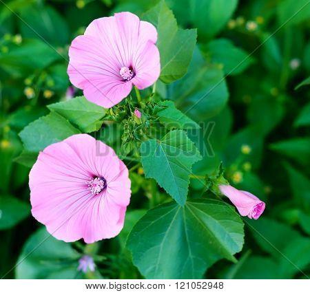 Garden bindweed. Pink Bindweeds in a field. Horizontal shot with selective focus