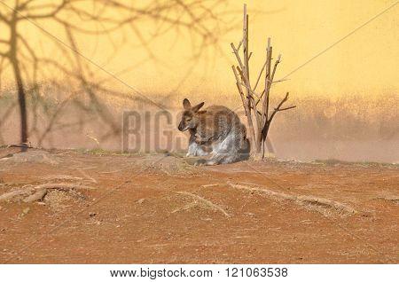 Kangaroo Mammal Animal