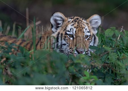 Siberian Tiger Cub (Panthera Tigris Altaica)