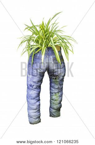 Green plant with old blue jeans isolated