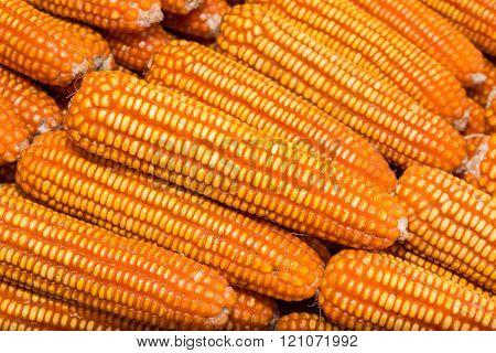 Yellow Dried Corn Bundle.