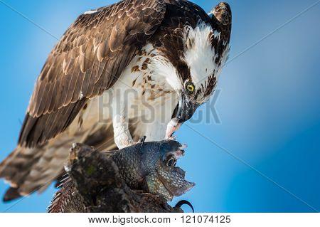 Osprey With Fish Pandion Haliaetus Also Called Fish Eagle Or  Sea Hawk