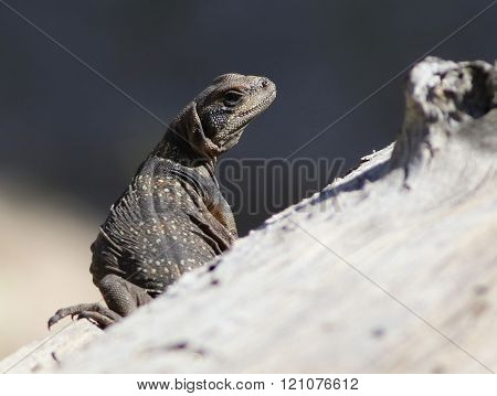 Juvenile Common Chuckwalla