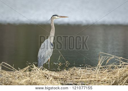 Heron Wading In Shallow Water.