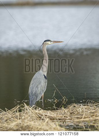 Heron standing in shallow water.