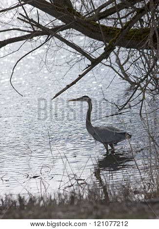 Heron Wading Out Into Water.