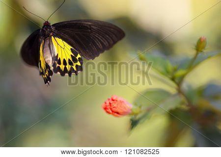 Golden birdwing butterfly motion in flight