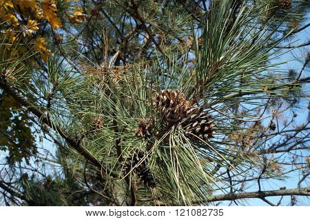 Pine Cones in a Tree