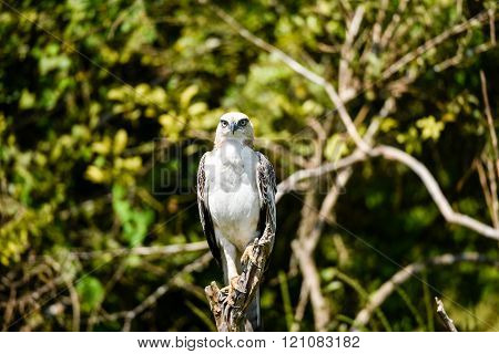 Crested hawk eagle