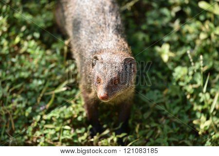 Close up mongoose