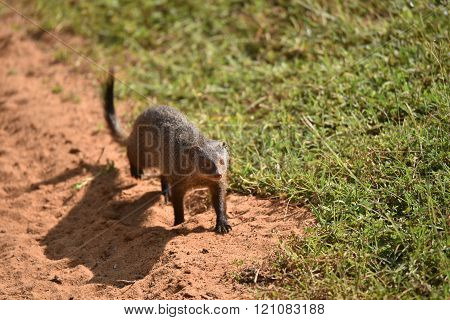 Mongoose walking