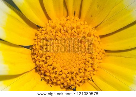 Daisy flower closeup on  yellow center
