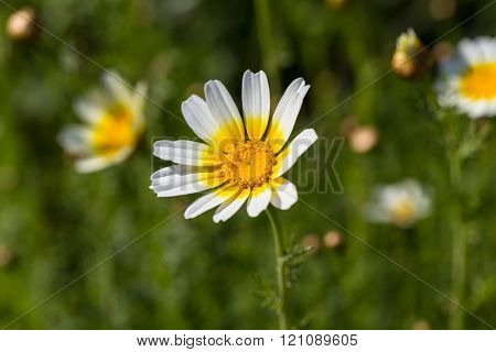 White daisy flower with yellow center in green field