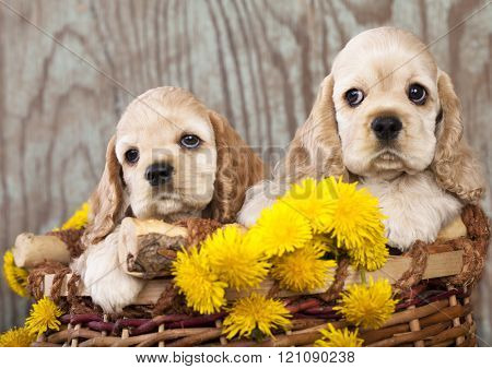 american cocker spaniel puppies and dandelions