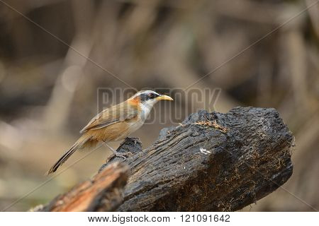 White-browed Scimitar-Babbler ,Bird and warm