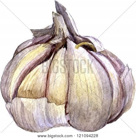 watercolor drawing garlic