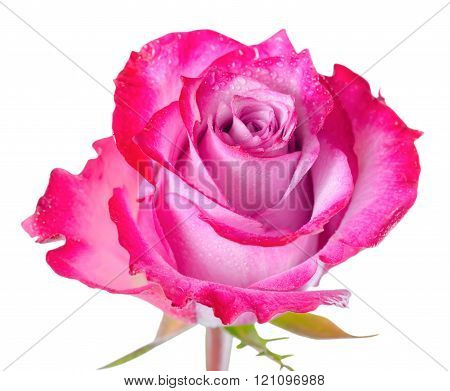 Close Up Of Abstract Romantic Beautiful Red Rose Flower Is Isolated On White Background