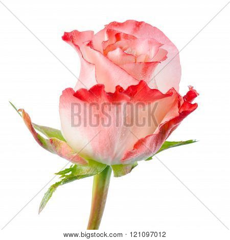 Close Up Of Abstract Romantic Beautiful Pink Rose Flower With Drops Is Isolated On White Background