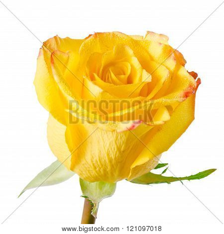 Close Up Of Abstract Romantic Beautiful Yellow Rose Flower With Dew Is Isolated On White Background