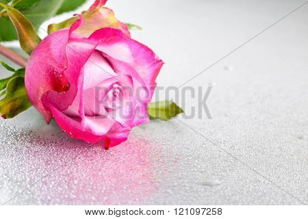 Beautiful Pink Rose Flower On Light Background With Drops And Reflection, Close Up