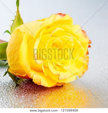 Beautiful Yellow Rose Flower On Silver Background With Dew And Reflection, Close Up
