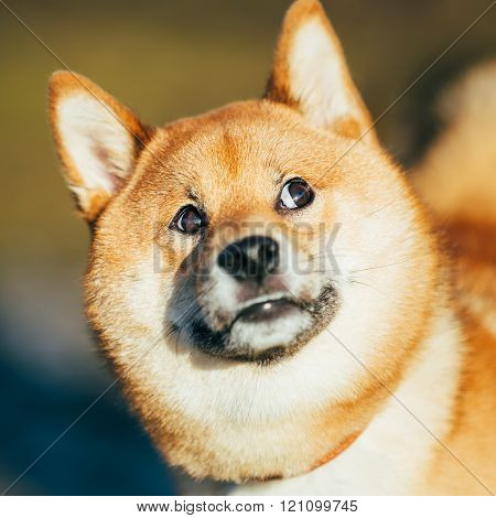 Close Up Of Beautiful Funny Young Red Shiba Inu Dog