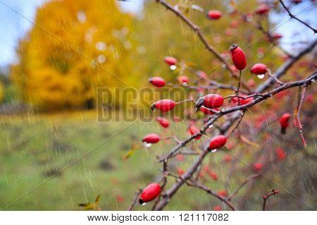 Rosehip Berries In Autumn Rain