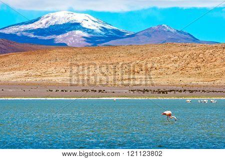 Flamingo In Laguna, Bolivia