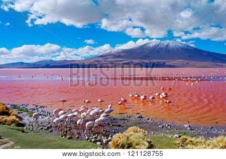 Flamingoes In Laguna Colorada ,  Bolivia