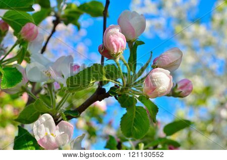 Young Apple-tree Flowers In The Spring Garden