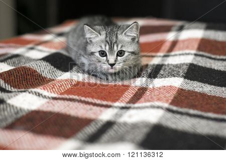 Small striped kitten lying on a checkered plaid. Cute kitten on a bed. Pet of a gray color. Tiger tabby kitten.