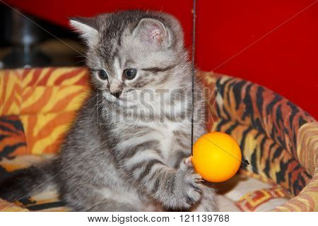 Striped kitten  playing with the ball.