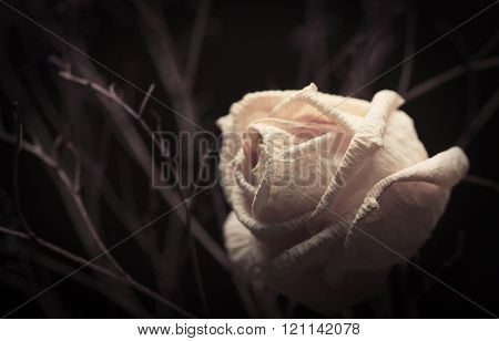 Withered White Rose