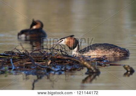 Pair Of Great Crested Grebes ( Podiceps Cristatus) By Nest