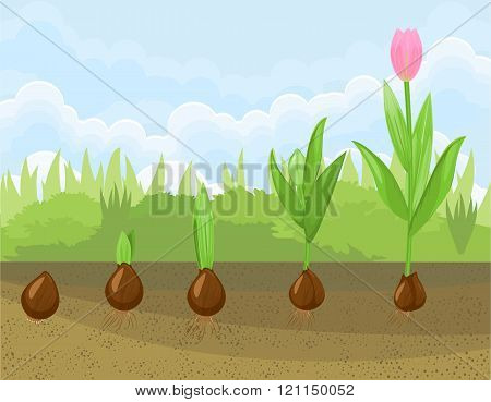 Tulip growth stage
