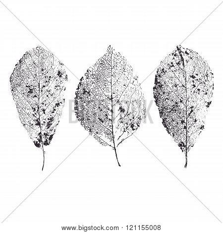 Skeleton Leaves Isolated. Leaf Veins.