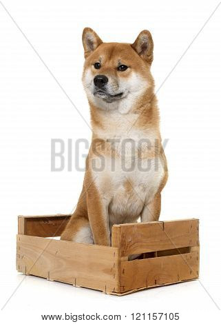 young shiba inu in box in front of white background