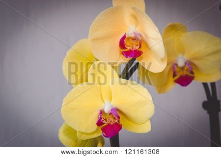 Yellow Phalaenopsis Flowers (orchid) Toned