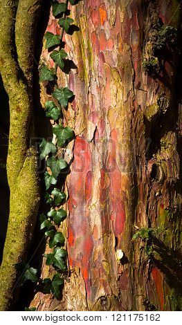 natures natural neon, Bark from yew tree, with ivy growing and glowing in the sunlight.