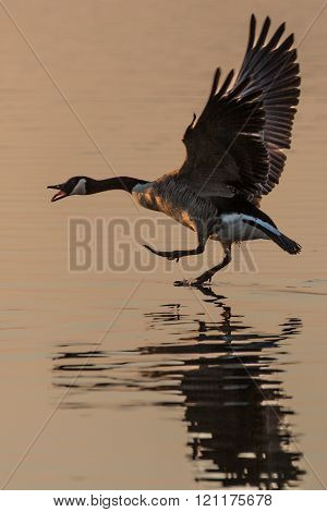 Canada Goose (Branta canadensis) walking on water, squawking and with wings stretched, in the glow o