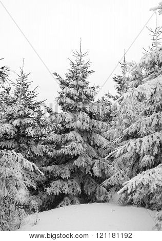 spruces in winter