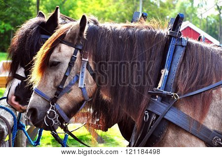 Horses settled at a carriage ready to work