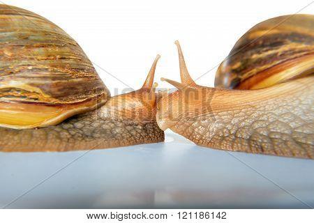 snail Achatina giant on white background