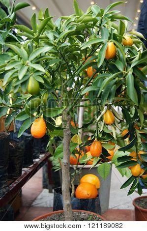 Seedling kumquat