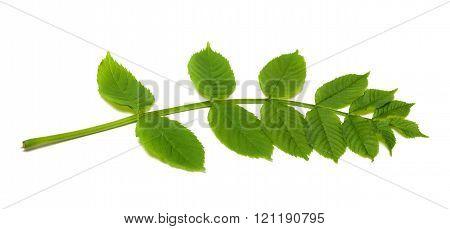 Spring Rowan Leaves